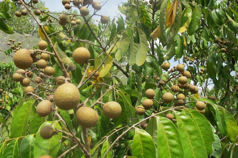 Лонган дерево фото