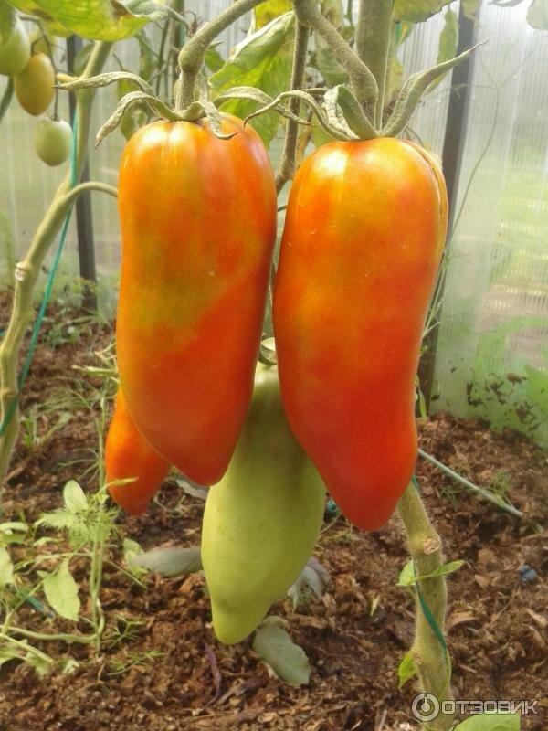 речь идет томат дамский угодник отзывы и фото фото брелках заказ