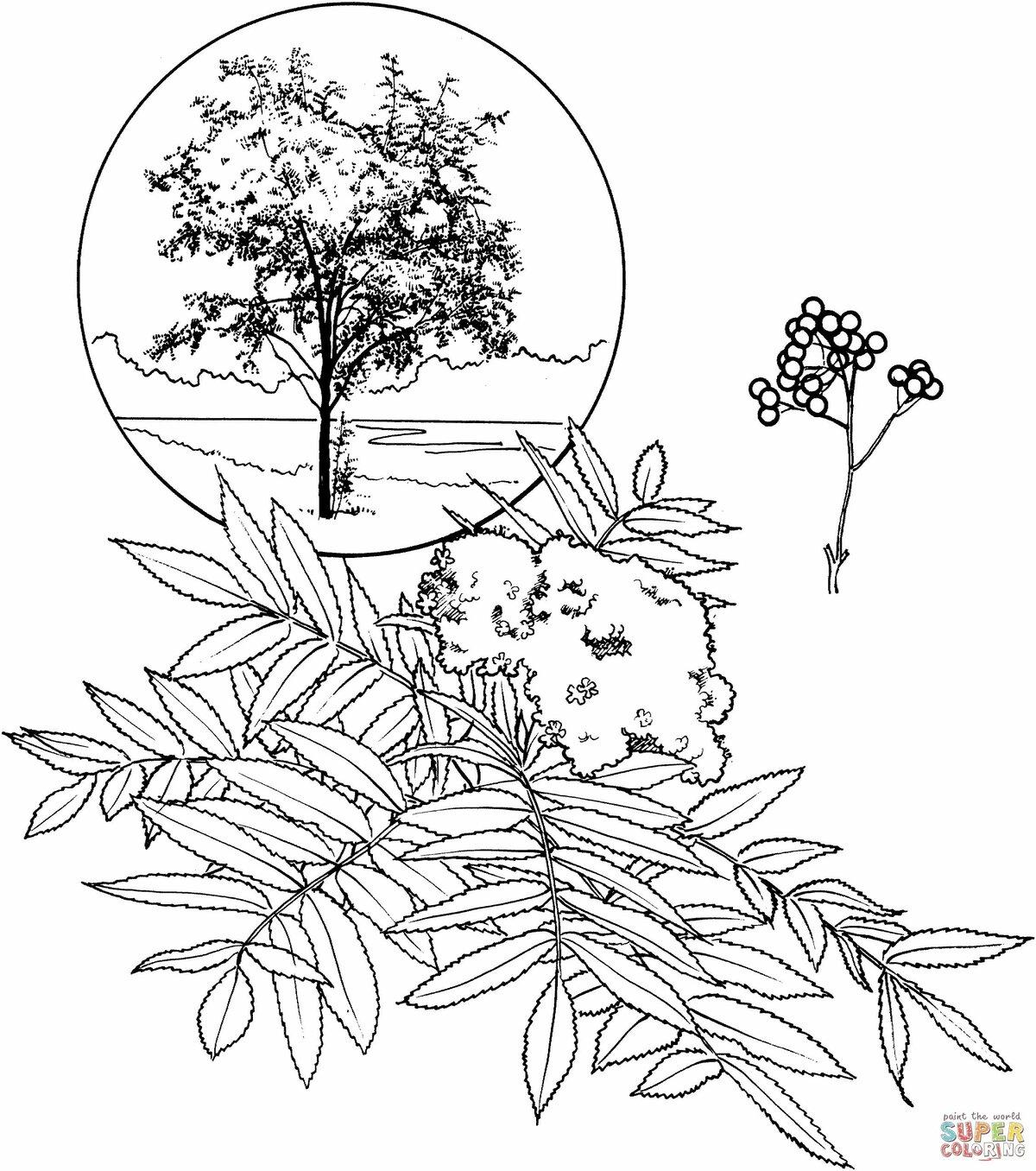 раскраска рябина дерево