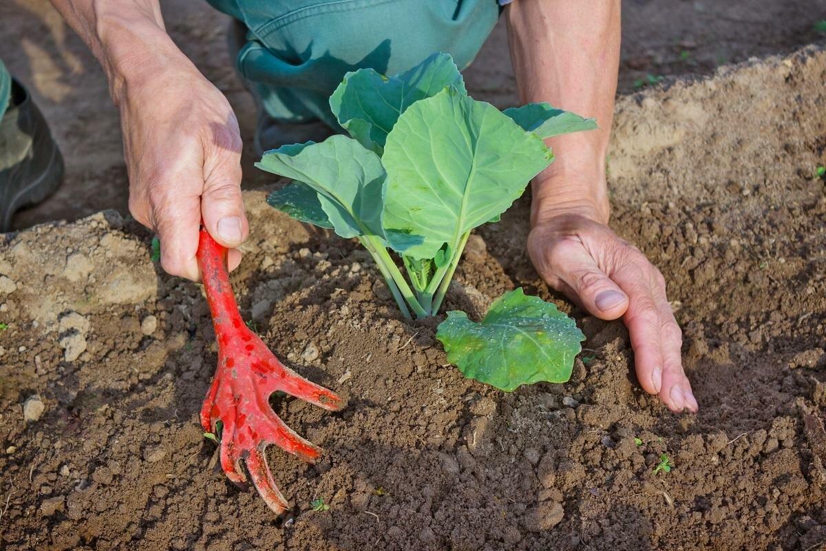 Капуста: выращивание в открытом грунте