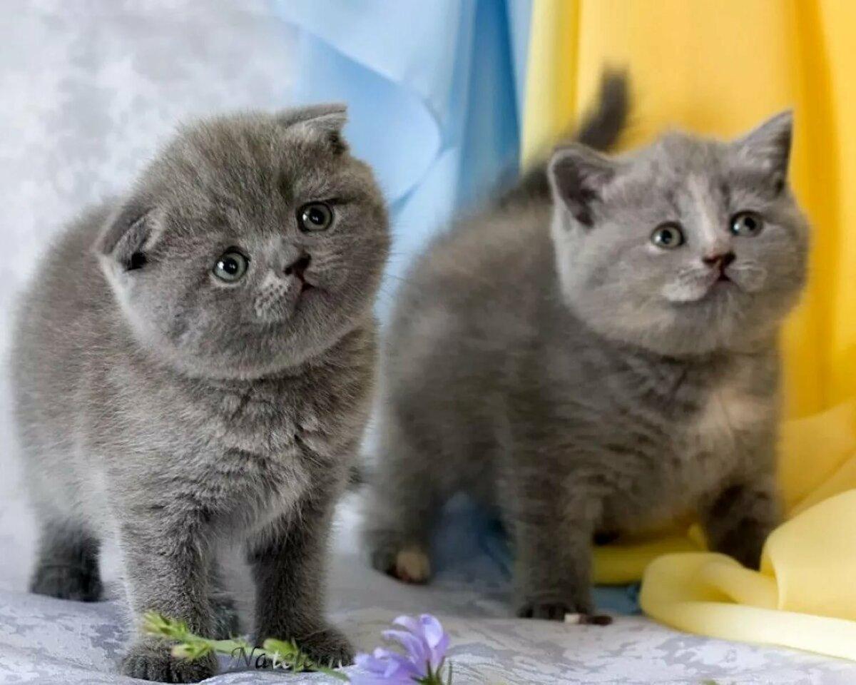 ещё британские вислоухие котята в картинках касается