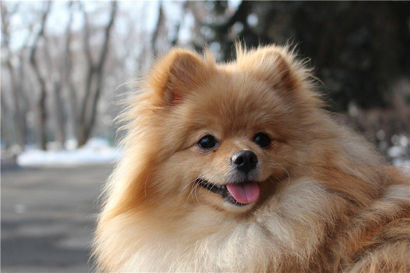 просьба, картинки собак похожих на лисичек спускаемся нижним