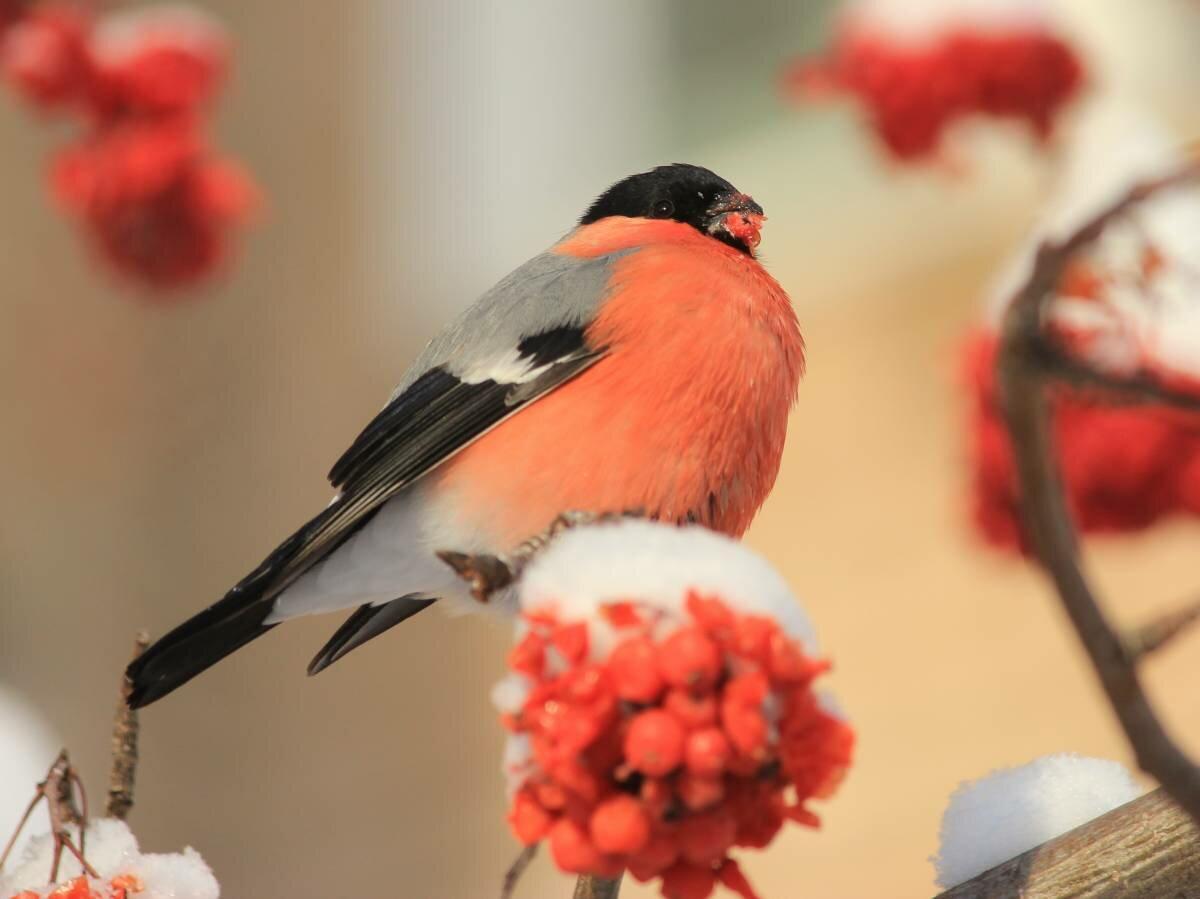 гулянья жителей фото птички снегиря память николае
