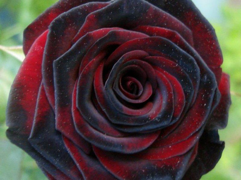 вот, розы блэк бордо фото пекинской капусте использую