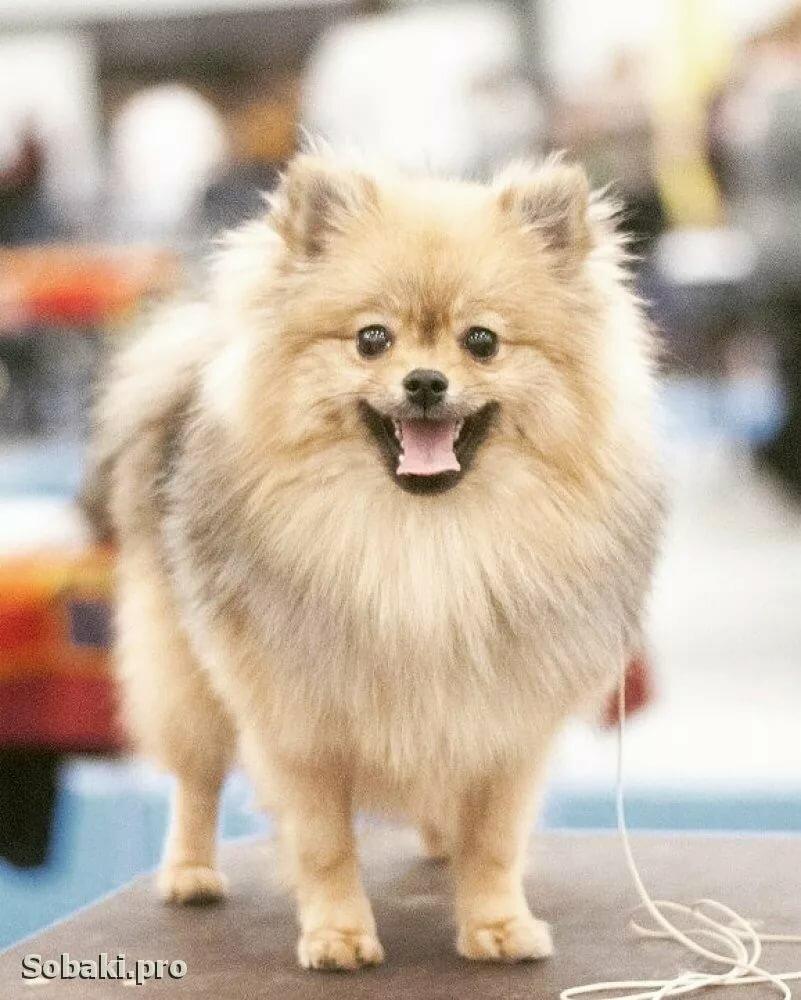 картинки собаки большой немецкий шпиц