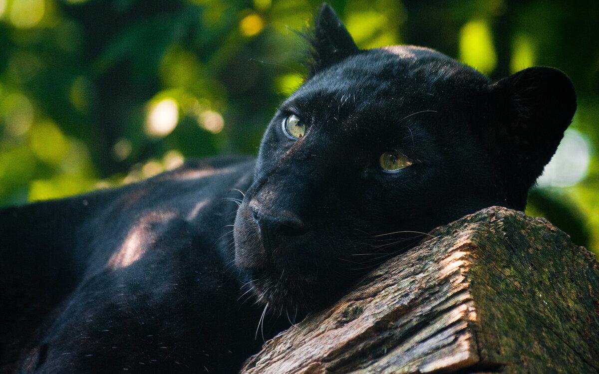 Картинки глаза пантеры