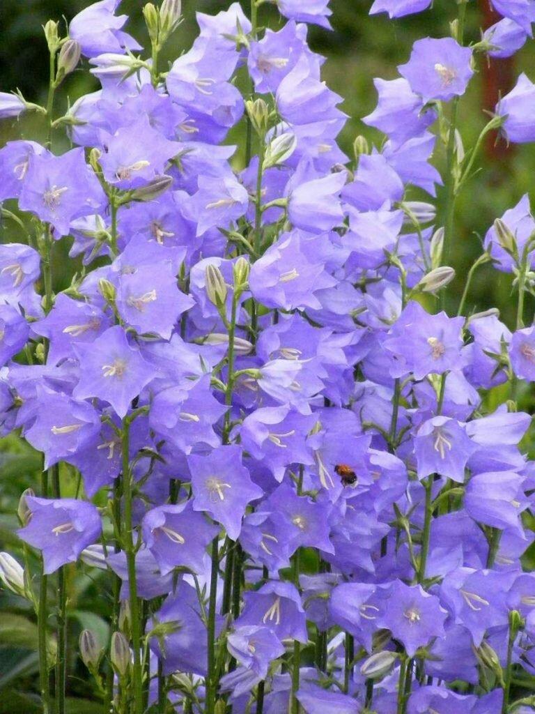 колокольчикообразные цветы с фото того