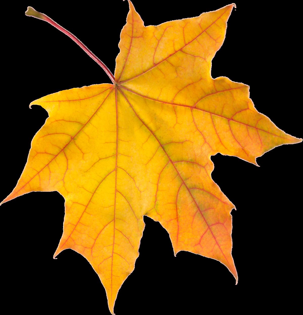 Желтые листья картинки на белом фоне
