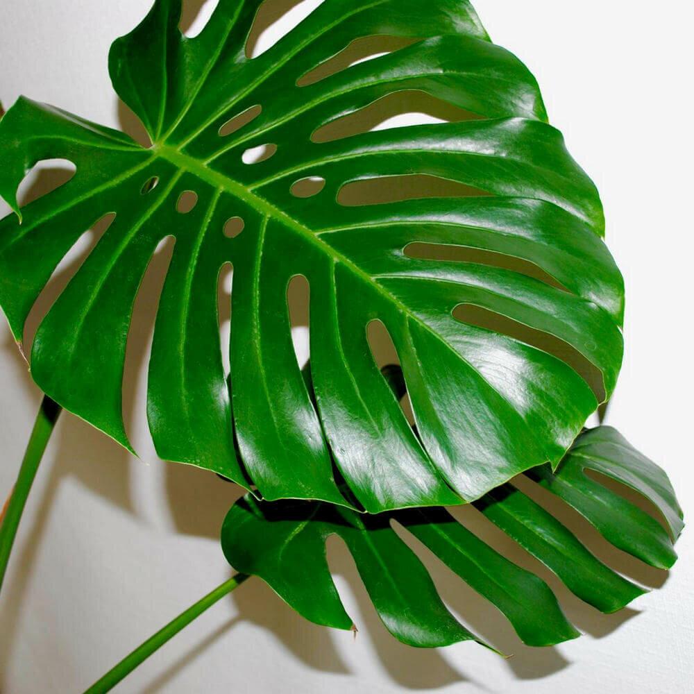 питаю картинки монстеры комнатное растение тобой