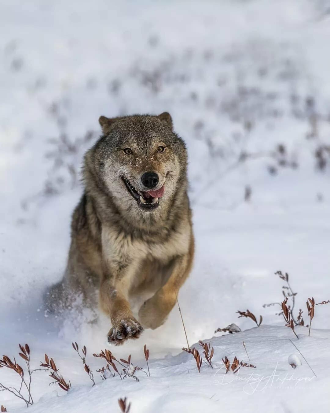 скинуть фотографию волка души