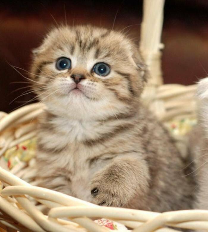 Надписью четкая, смешные картинки вислоухих котят