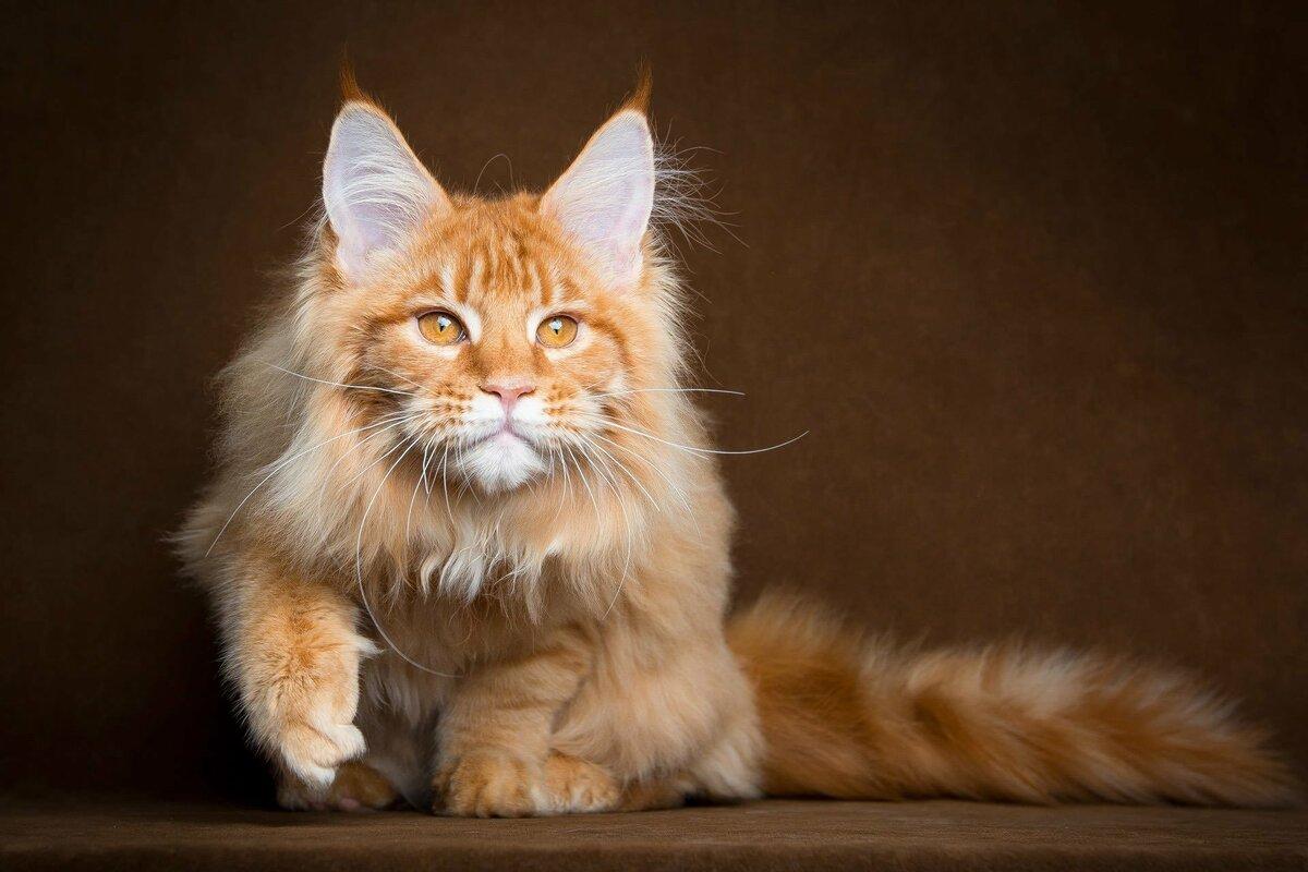 Мэйн-кун кошки картинки
