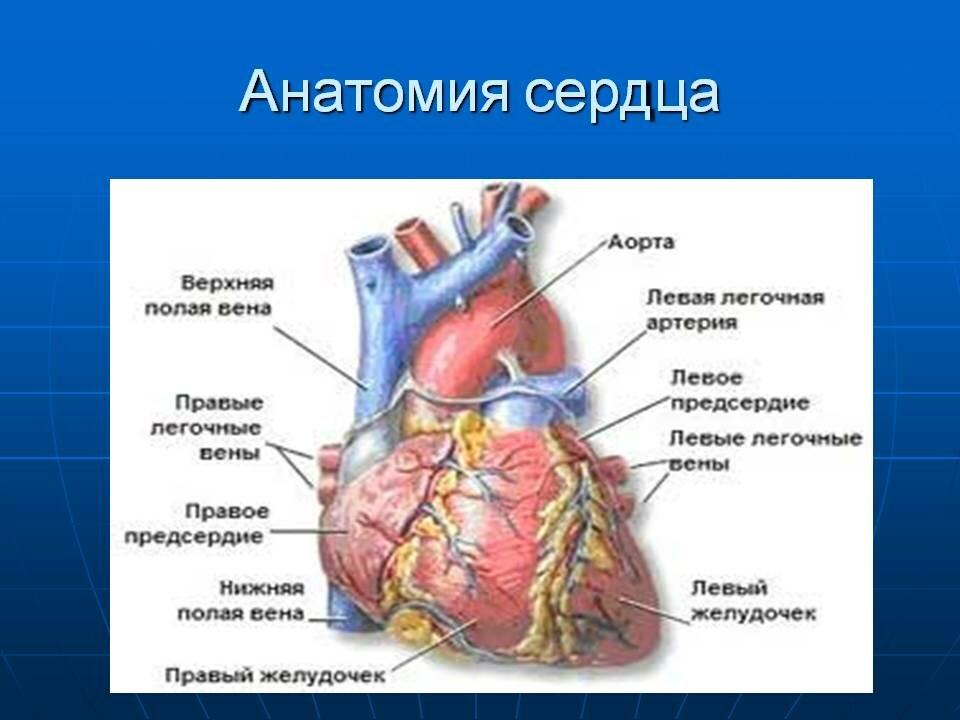 Анатомия сердца в картинках