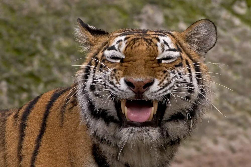 Тигрица смешно картинки, открытки своими
