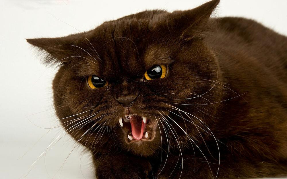 Прикольны картинки злого кота, утро пионы