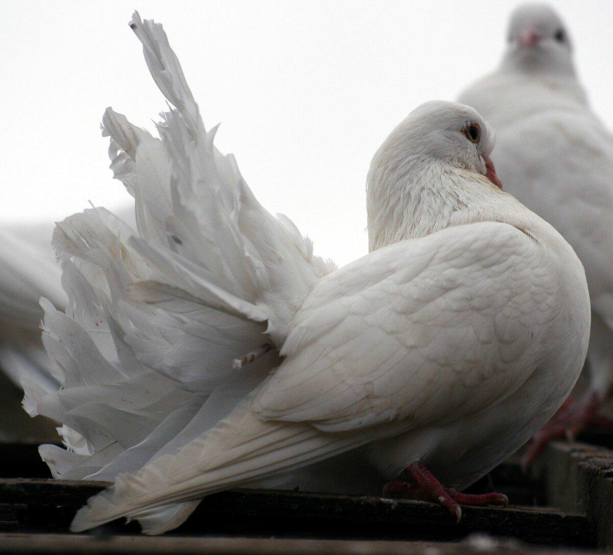 фото белой голубки сделать своими
