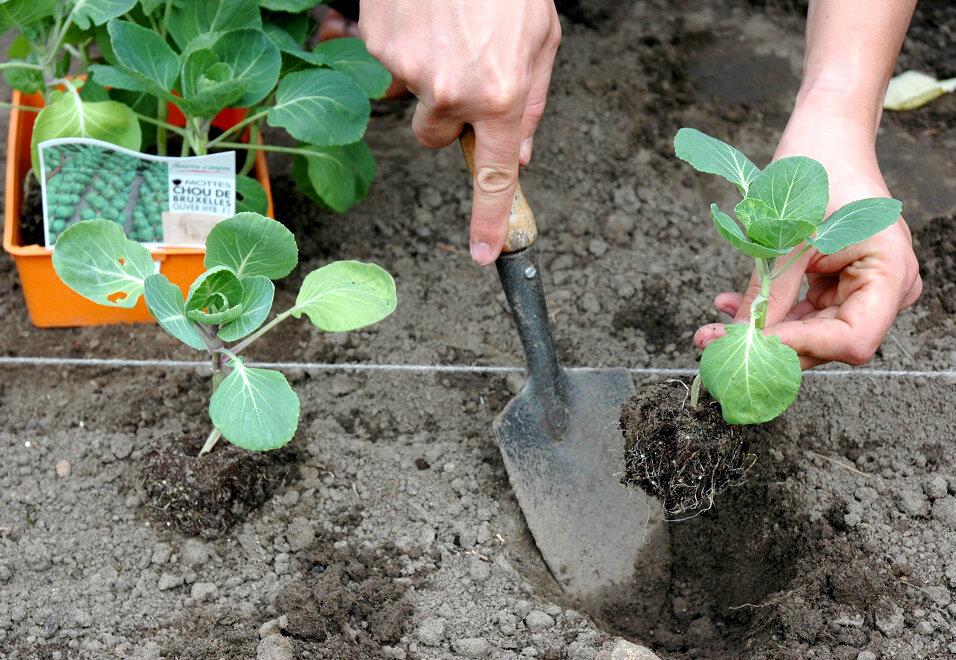 Капуста белокочанная: выращивание