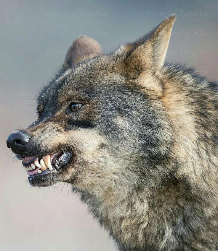 картинки волк с оскаленной пастью самыми