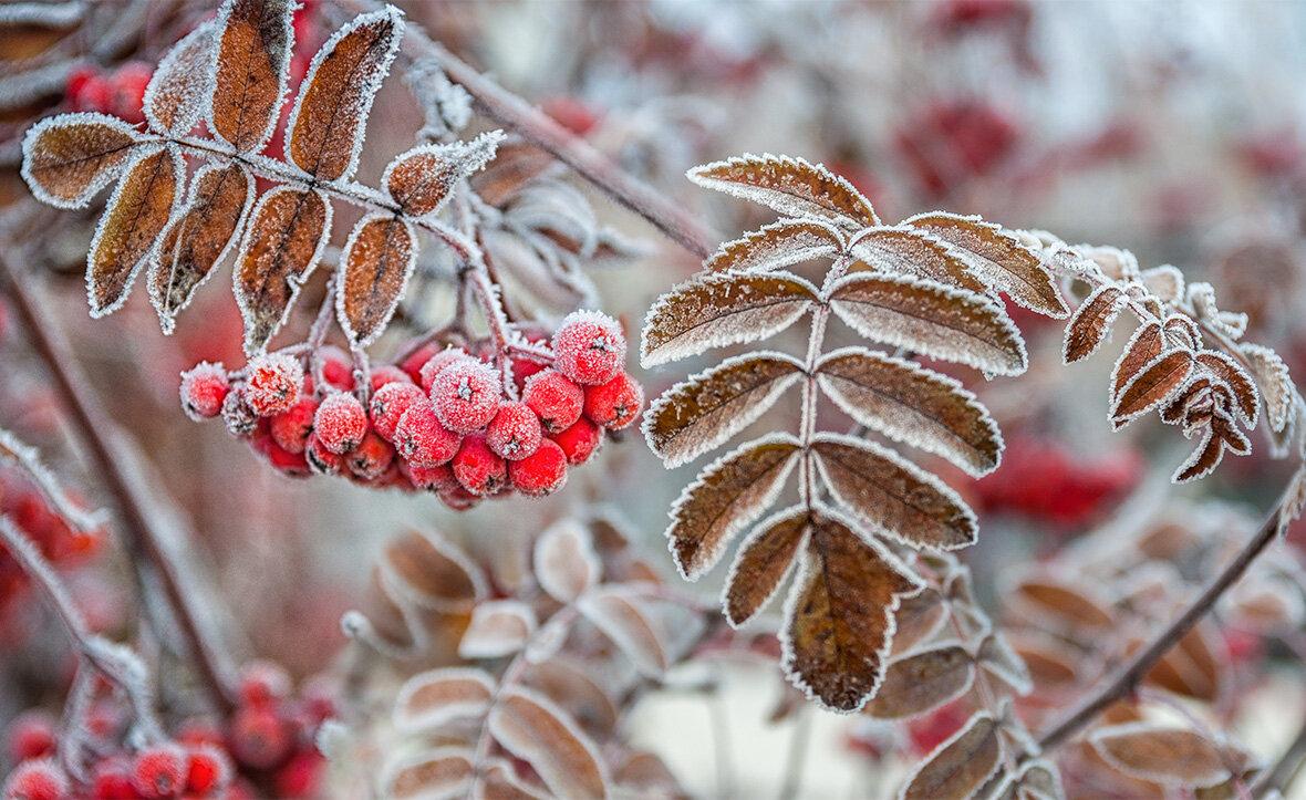 Картинки рябины зима