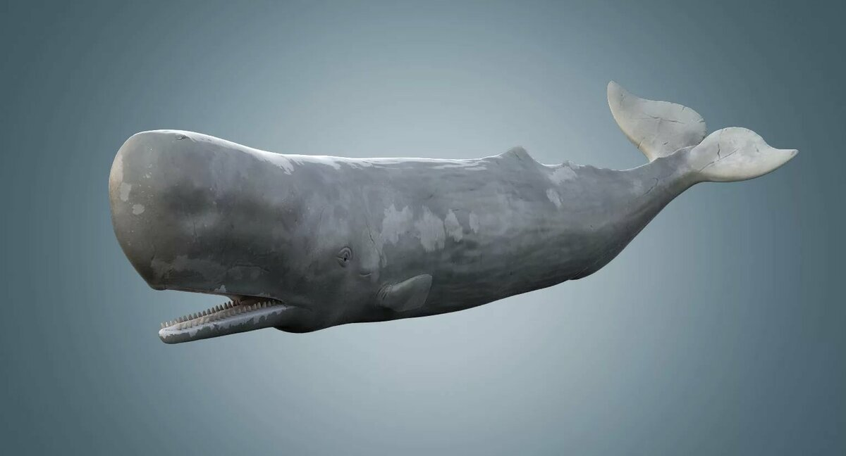 sperm-whale-facts