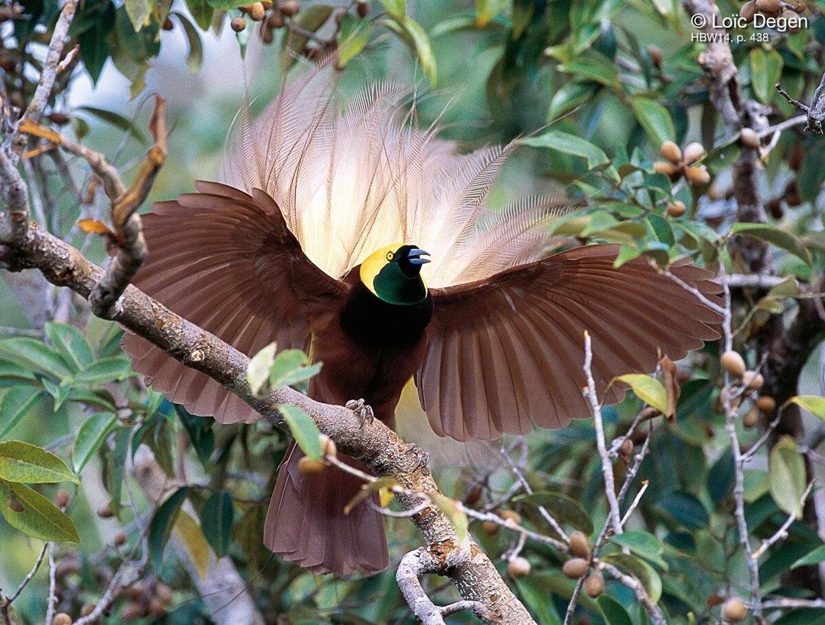 картинки с райскими птичками коей мере претендую