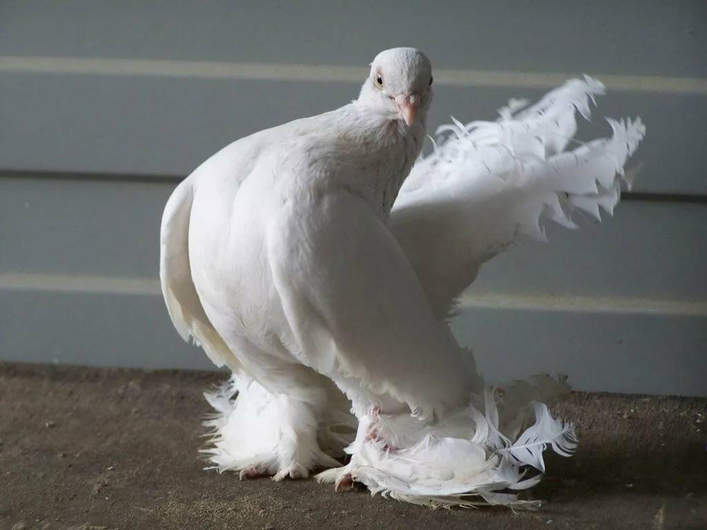 порода белых голубей фото и названия редко такой интерьер