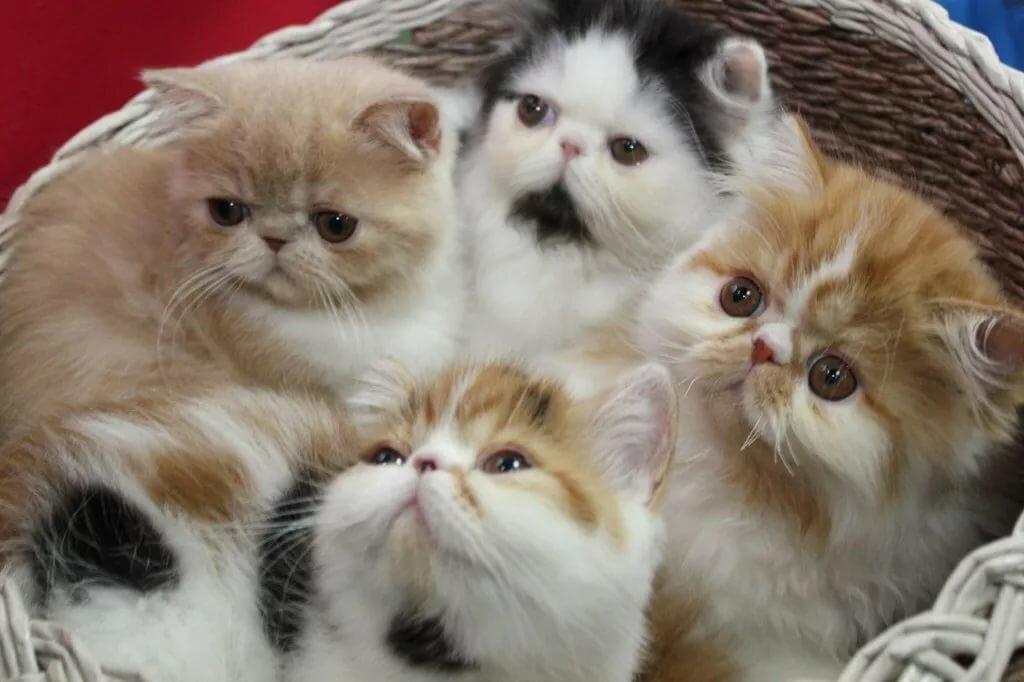 котята экзотические картинки сын, дочь