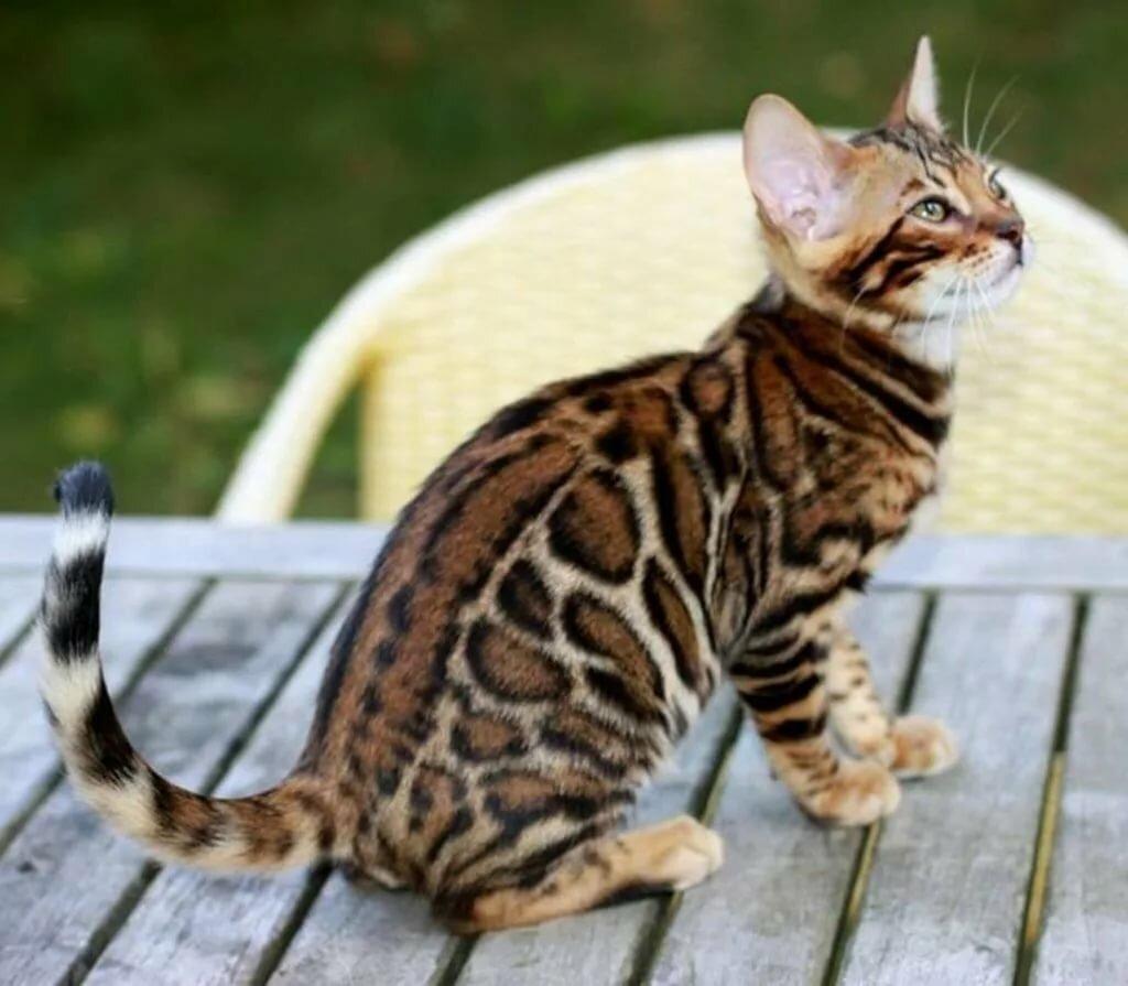 окрасы бенгальской кошки в картинках визуального привлечения внимания
