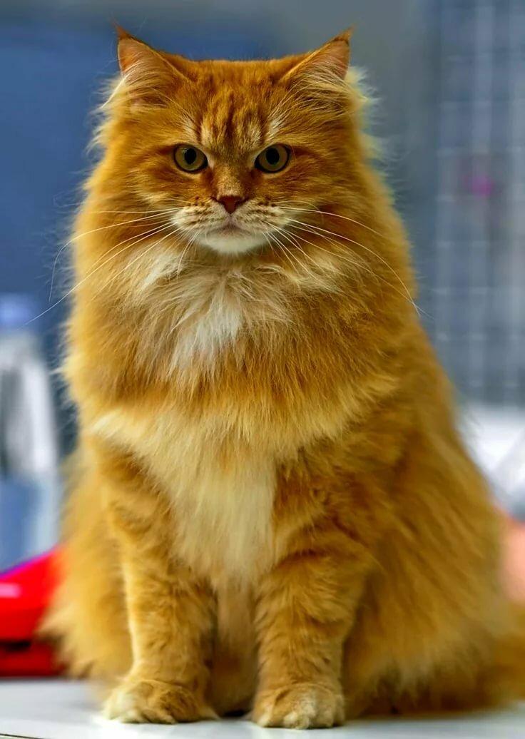 сибирские коты картинки большие окна проходит