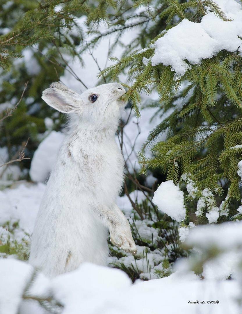 Картинки зайчики зимой