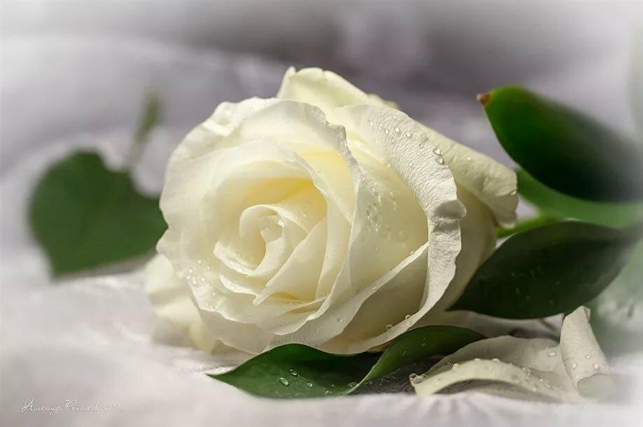 Белая роза открытка анимация, днем рождения