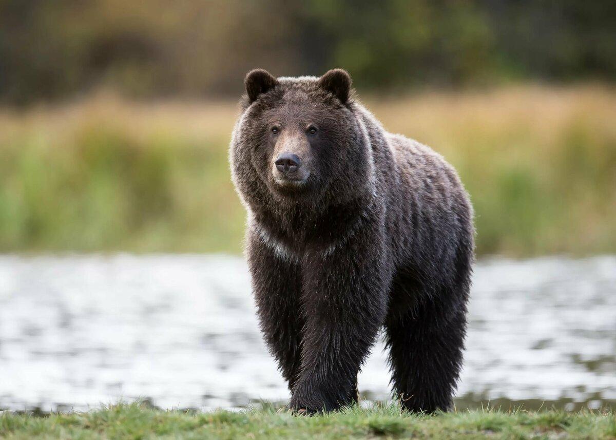 картинки бурый медведь волк беличьих разводных комнатах