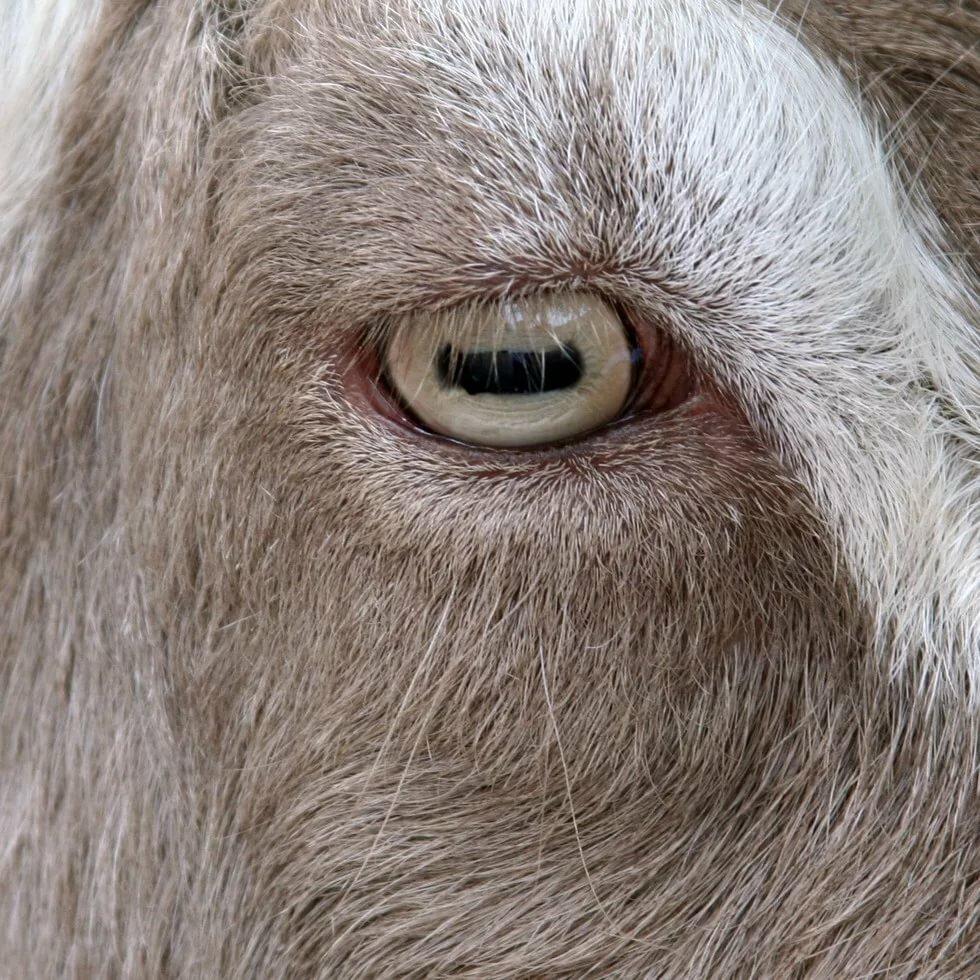 глаз овцы картинка известная