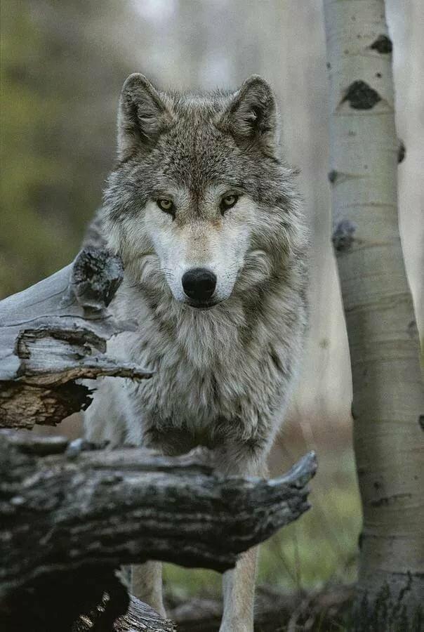 Фотографии волка профессиональные