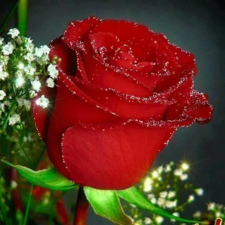 Днем учителя, роза картинки красивые блестящие