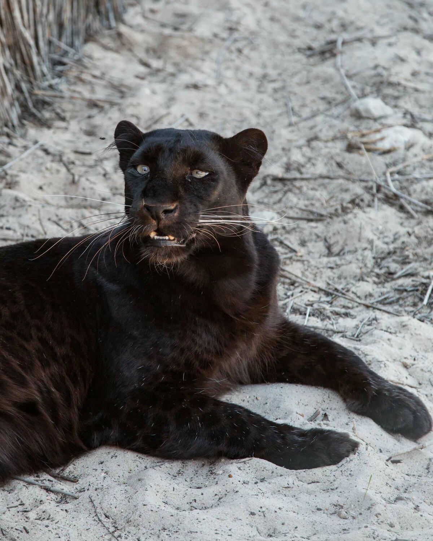 крупнейших картинки черная пантера прикольные хочешь чтобы исполнилось