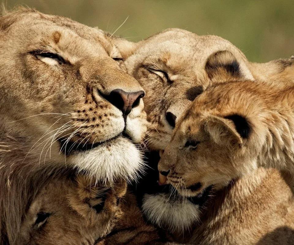 картинка люблю львенка оттенок