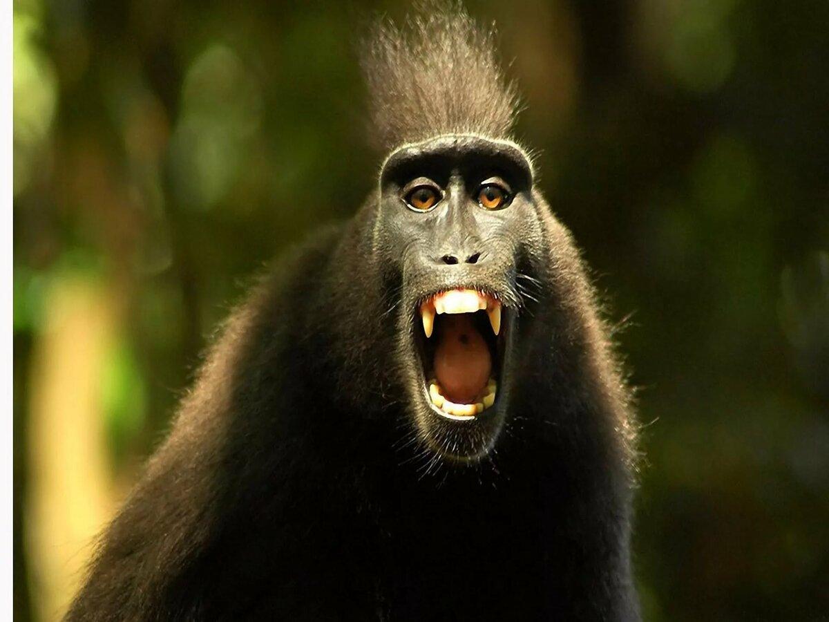 Картинки бешеных обезьян