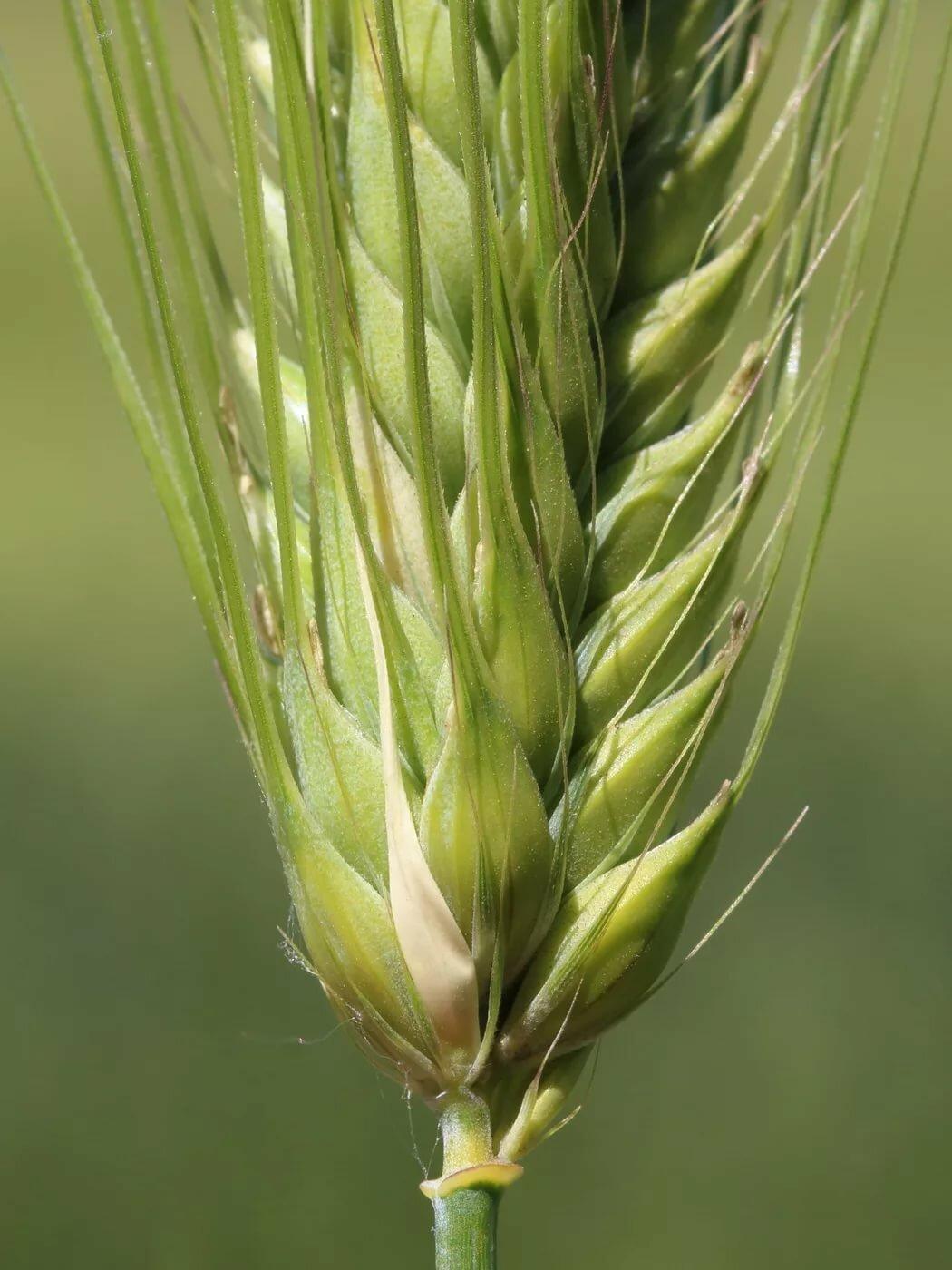 картинки злаковых трав образ