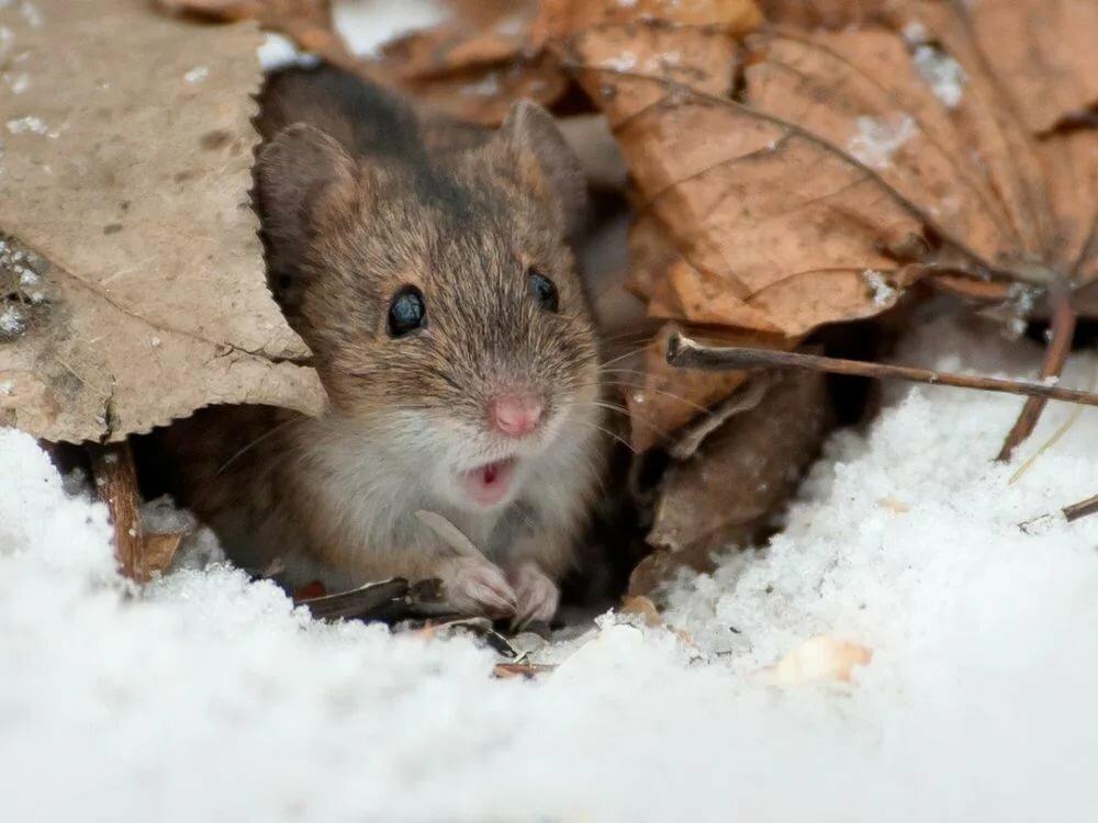 картинки мышей на снегу фото нейтральный инертный газ