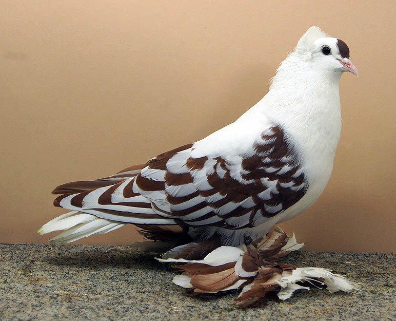 фото голубей всех пород открытка