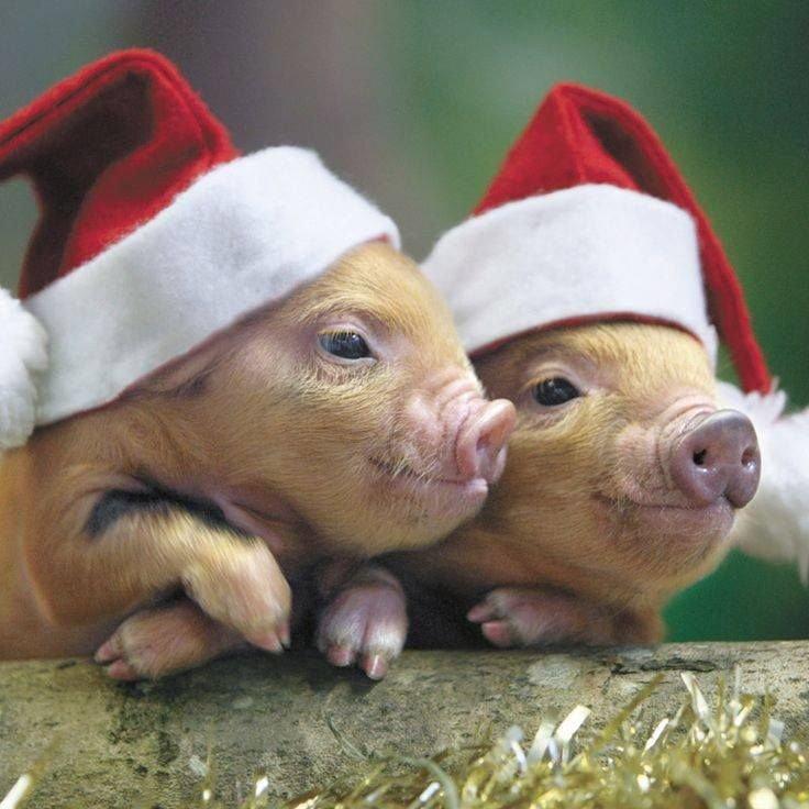Поздравлением, прикольные картинки со свиньями с новым