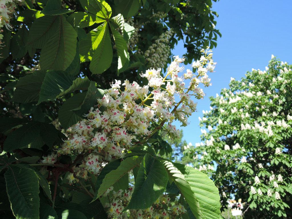 Цветы каштана с цветами сирени
