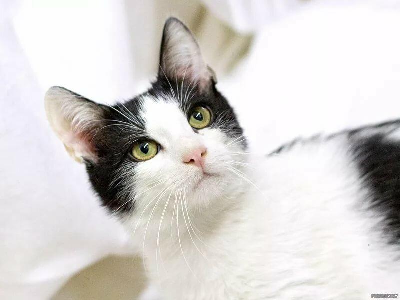 Картинки белого кота с черными пятнами