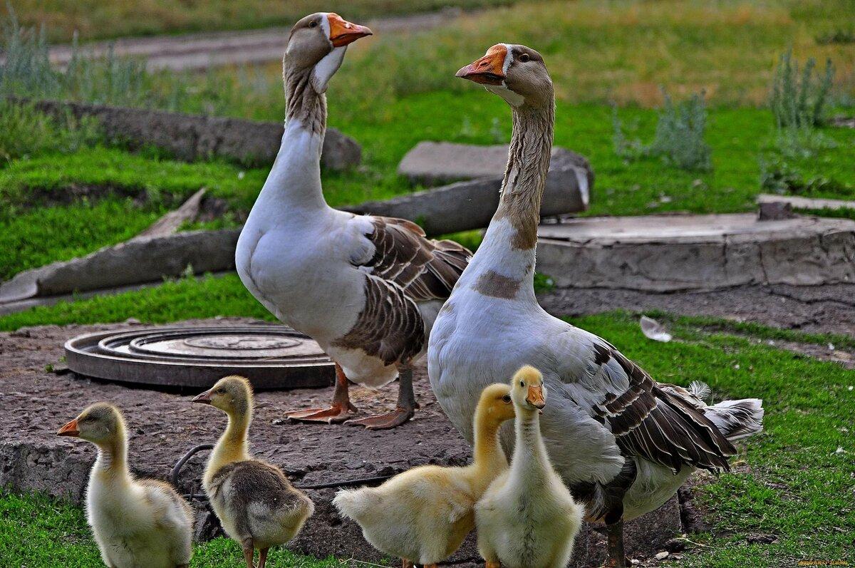 Картинка семья домашних птиц нас