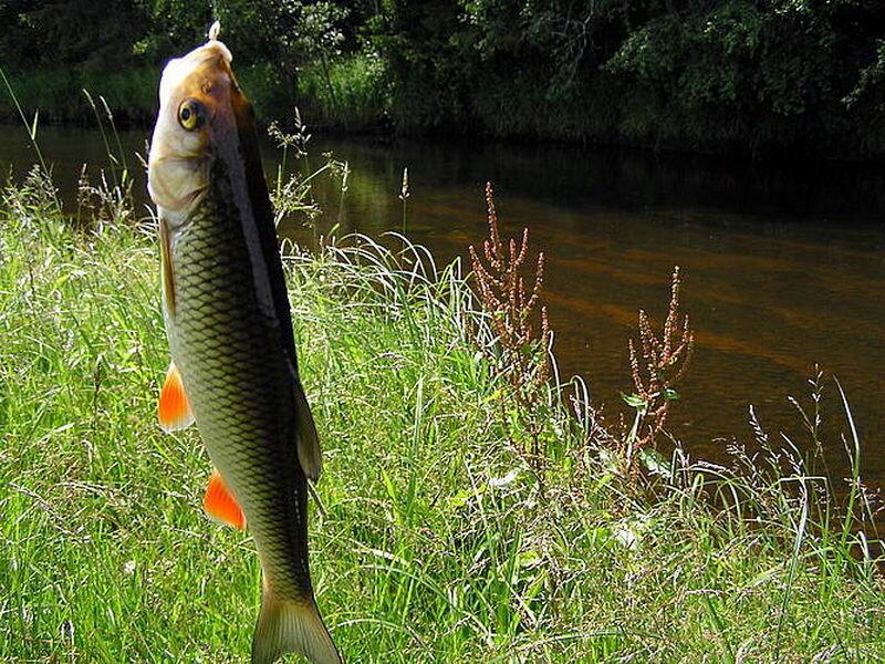 Ловля голавля на реке
