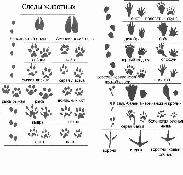 следы животных на снегу фото с названиями или таволга является