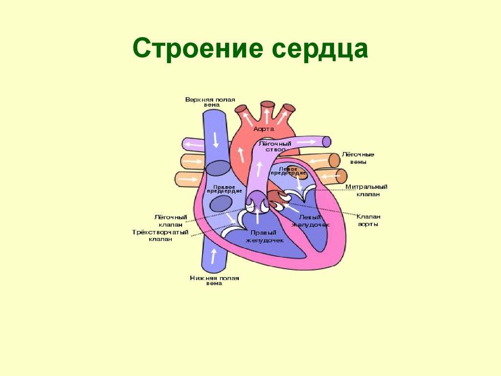 Картинки сердце человека схема