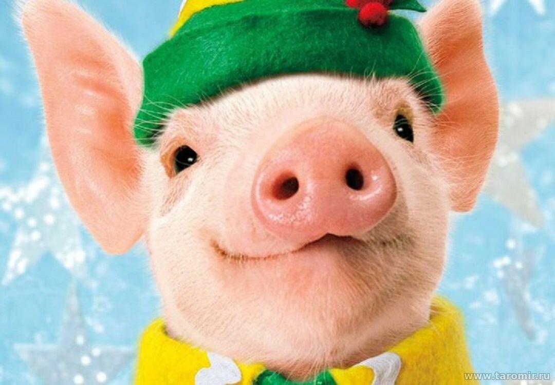 Прикольные картинки со свиньей 2019, картинки марта