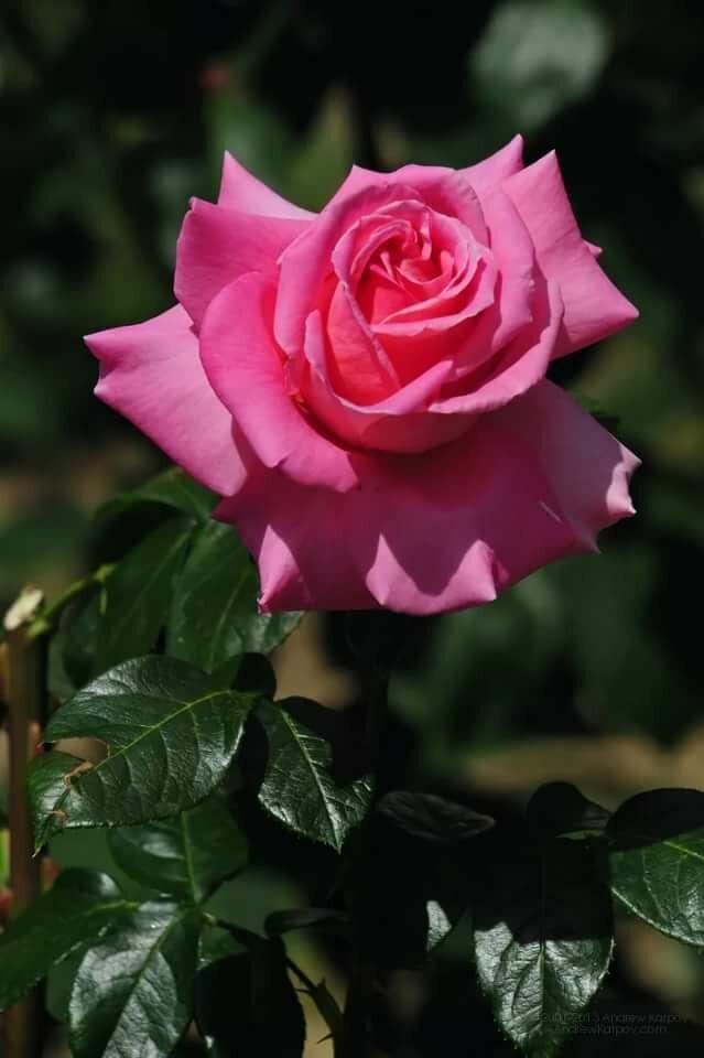 Фото картинки, картинки розы на телефон вертикальные